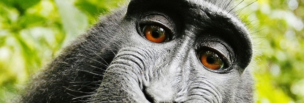Did This Monkey Intentionally Take A Selfie?