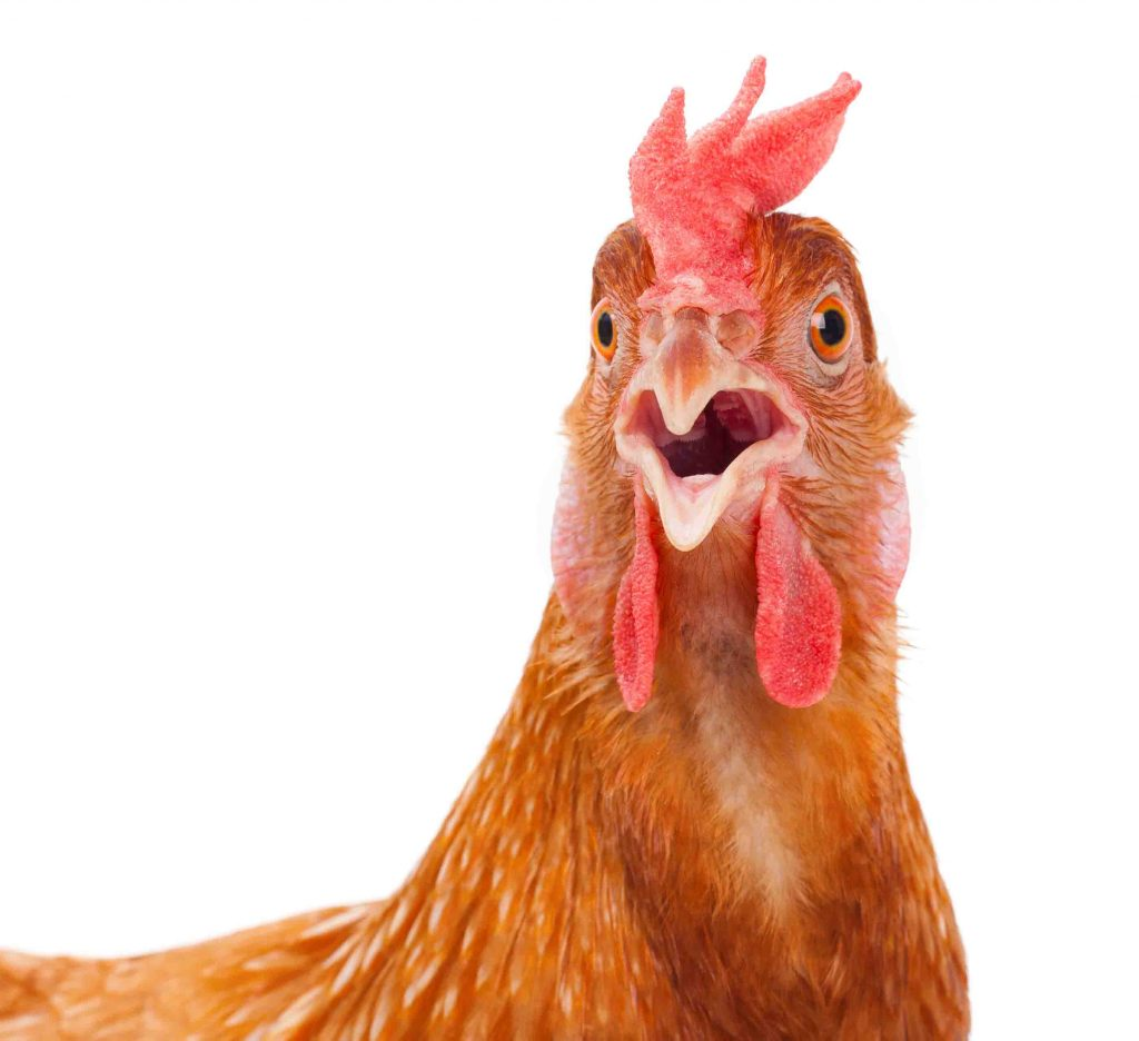 Chicken surprised