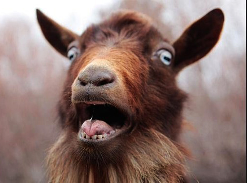 goat surprised